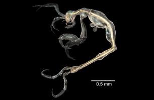Liropus minusculus - një karkalec i vogël deti, i gjatë vetëm 3 mm, i gjetur në një ishull afër brigjeve të Kalifornisë. (SINC e JM Guerra-Garcia)